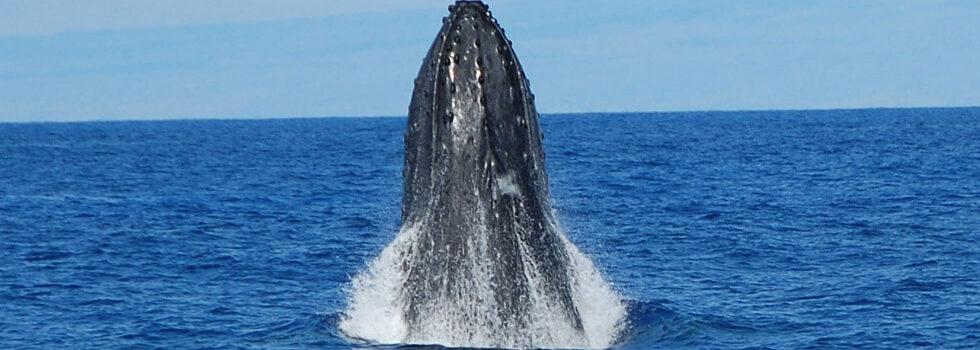 Kona Whale Watching Tour - Adventure Tours Hawaii