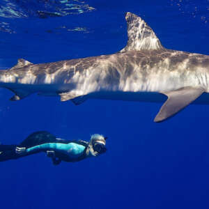 Shark Snorkeling without the Cage